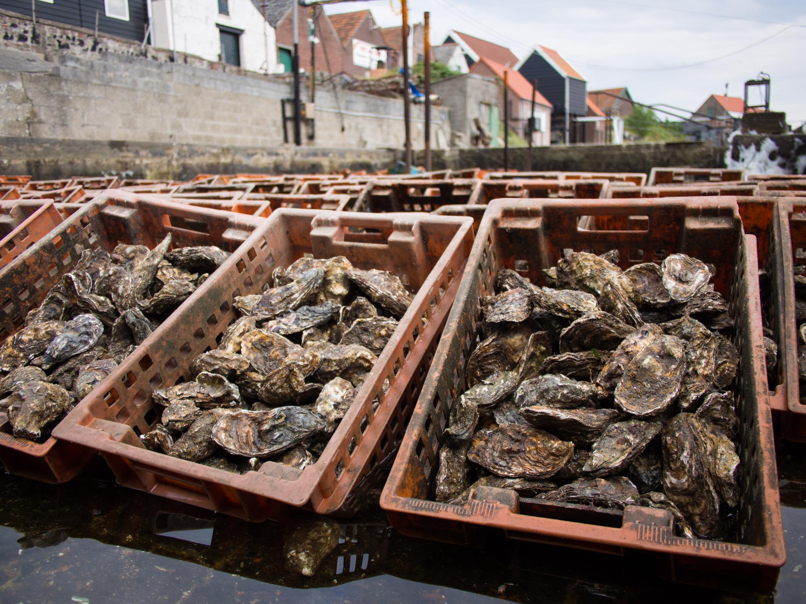 Verschillende soorten oester